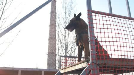 plac zabaw : A german shepherd dog standing on the top of the stairs Wideo