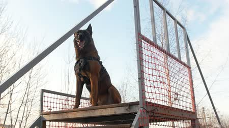 plac zabaw : A german shepherd dog standing on the top of the stairs on the playground