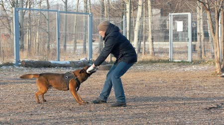 plac zabaw : A trained german shepherd dog biting the stick in trainer hands