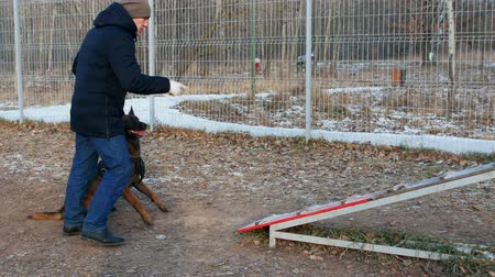 çoban köpeği : A german shepherd dog running up on the stand and jump off Stok Video