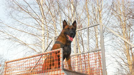 plac zabaw : Trained german shepherd dog on the stand on the playground