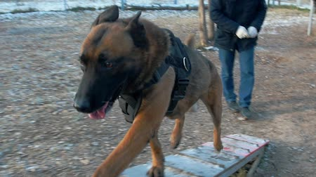 plac zabaw : A german shepherd dog running up on the stand on the training ground