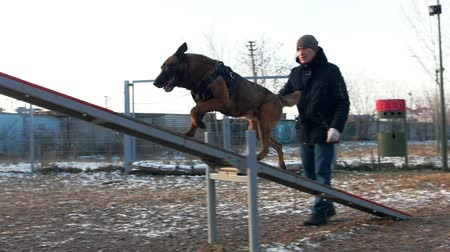 plac zabaw : A german shepherd dog walking through the double swing - outdoors training