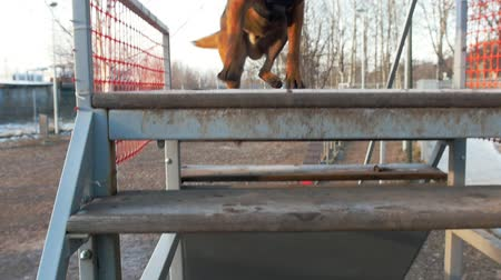 plac zabaw : A german shepherd dog running to the stand outdoors Wideo