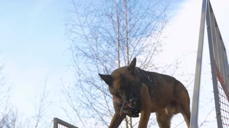 plac zabaw : A german shepherd dog catch the stick on the stand outdoors Wideo