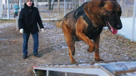plac zabaw : A german shepherd dog running up on the stand by the trainers command