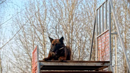 plac zabaw : A german shepherd dog standing on the top of the stand and catching a stick Wideo