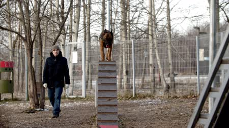çoban köpeği : Dog training on the training ground - A german shepherd dog running up and down the stand