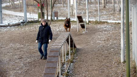 çoban köpeği : Special training ground for the dogs - A trained german shepherd dog running up and jumping down off the stand
