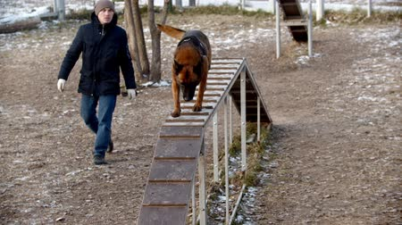 chien de berger : Special training ground for the dogs outdoors - A trained german shepherd dog running up and down the stand Vidéos Libres De Droits