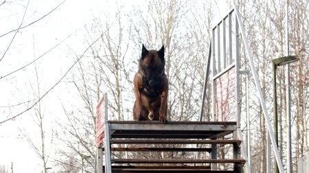 plac zabaw : A german shepherd dog standing on the top of the stairs on the training ground - walking down