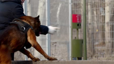 trained : dog training - dog handler is instructing dog to jump over the barrier