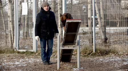çoban köpeği : dog training - dog handler is instructing dog to walk along the double-sided swing Stok Video