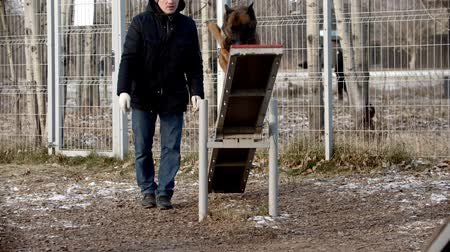 çoban köpeği : dog training - german shepherd is running on double-sided swing and jumping off