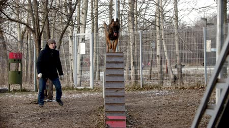 çoban köpeği : dog training - german shepherd is running on the board and jumping off Stok Video