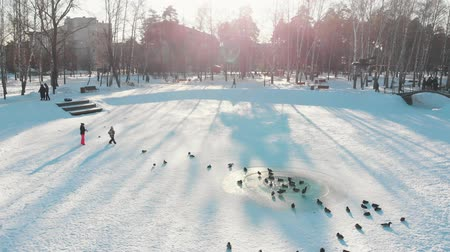 kaczka : Russian winter - ducks are swimming on the frozen pond