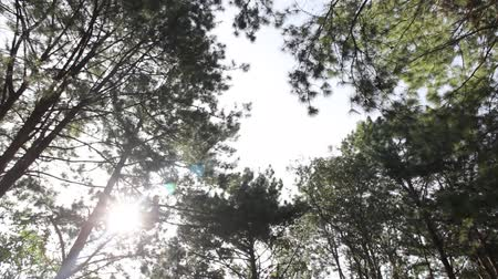 jasno : pine trees swaying in the wind
