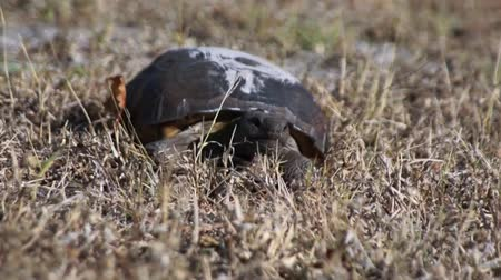 dny : A young Gopher Tortoise is walking through the grass towards the viewer. The Gopher Tortoise is an endangered species in Florida.