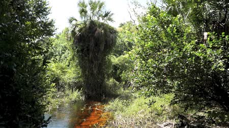 ouvido : View of a large palm tree in subtropical undeveloped section of the Imperial River in bonita springs, florida, panning down we see the river and the sound of the water, insects and birds can be heard. Vídeos