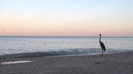 rústico : A Great Blue Heron on Shore of Bonita Beach in Florida looks out over the Gulf of Mexico with small crashing waves. Stock Footage