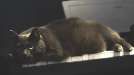 wallow : Fat Blue British cat lying on synthesizer keyboard. Big grey cat resting on Piano keyboard