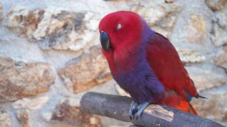 arara : red parrot on the background of stones