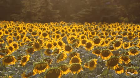 raios de sol : Beautiful sunflower field at sunset