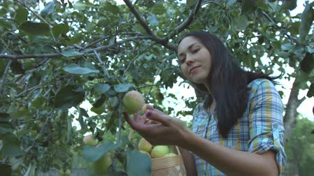 plucks : Apple harvesting. Slow motion. Young beautiful girl plucks an apple and put his in a basket.