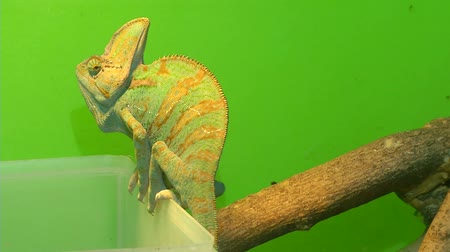 chamaeleo : Chameleon on a green background. 3 Shots. 1. Portrait of a chameleon. Muzzle and body part close-up. 2. Chameleon sits on a plastic box next to a branch. 3. Panorama from the tail to the head. Close-up.