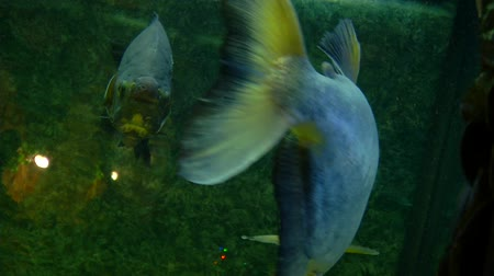 limpid : Colossoma macropomum. A pair of brown pacu floats in the aquarium. Two brown paku in the aquarium. One of them sails to the camera and unfolds in front of her. Stock Footage