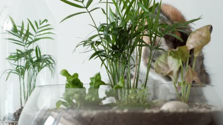 lids : A pet cat sniffs green plants in glass pots under covers. Home garden, protected by glass lids.