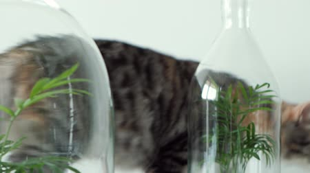 frasco pequeno : A pet cat sniffs green plants in glass pots under covers. Home garden, protected by glass lids.