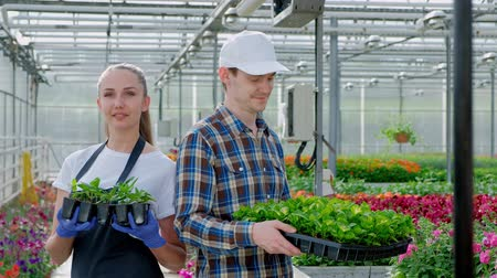 alberelli : Two young farmers, an agronomist or a florist in a plaid work shirt and apron are holding green plants in the background of a large bright greenhouse. Industrial cultivation of flowers and vegetables.
