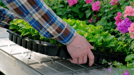 agronomist : A man carries boxes of green plants and flowers. Flower shop, wholesale of plants. Industrial cultivation of plants and vegetables. Stock Footage