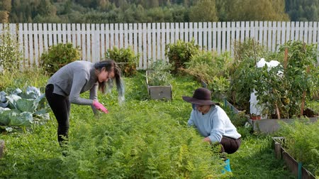 desherbage : Two young beautiful girls in sweaters are caring in the garden. Harvest. The concept of natural economy and the cultivation of organic vegetables. Vidéos Libres De Droits