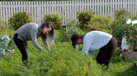 volktuintje : Two young beautiful girls in sweaters are caring in the garden. Harvest. The concept of natural economy and the cultivation of organic vegetables. Stockvideo