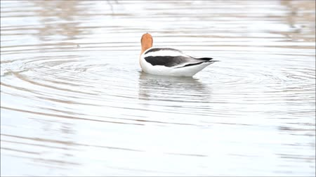 hlad : American avocet foraging through shallow water Dostupné videozáznamy
