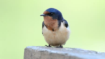 птица : Barn Swallow Singing