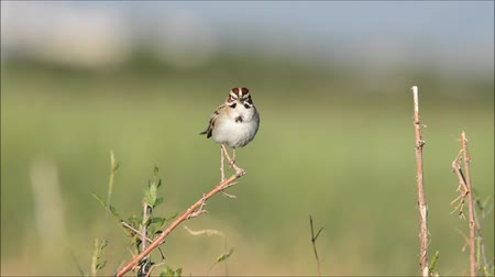 ave canora : Lark Sparrow (no sound)
