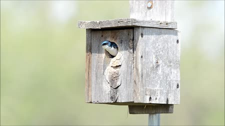 fészek : Tree swallows trading places