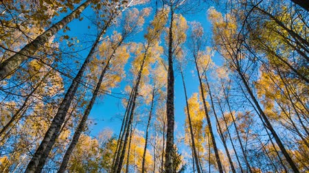 dub : Yellow autumn birches and blue sky Dostupné videozáznamy