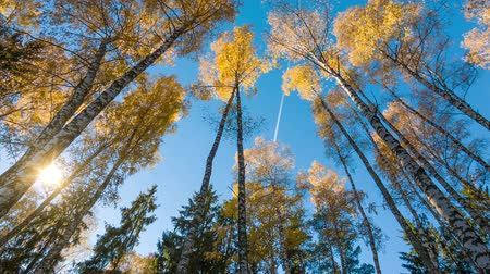 oak forest : Yellow autumn birches and fly in sky with sun