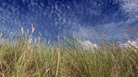 endless gold : Feather grass and blue sky with clouds