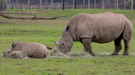 white rhino : A rhinoceros with a cub at the zoo