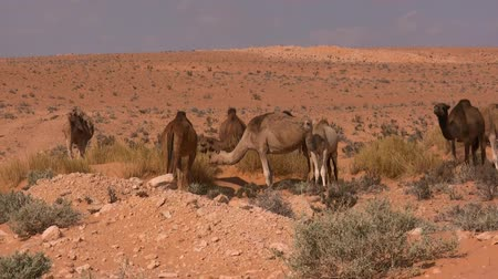 sicília : camels in the desert