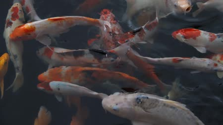 goldfish : Fish in the aquarium Stock Footage