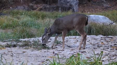 antilopa : deer in the wild