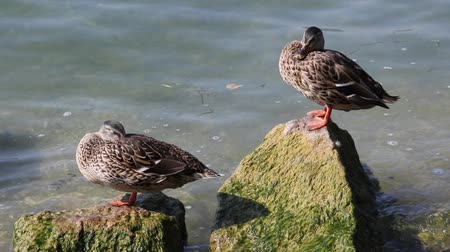 duck : duck rest on rock on lake Stock Footage