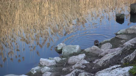 river rat : nutria at the lake