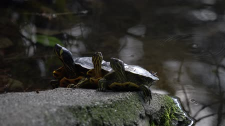 obojživelník : three cute turtles rest at sun on pond